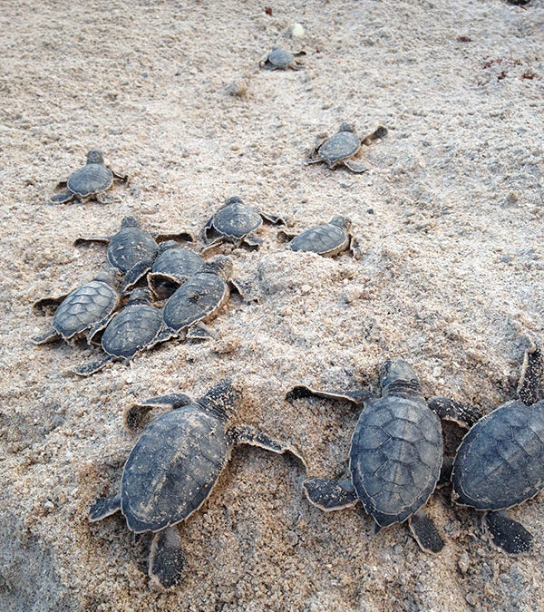 Sea Turtle Nesting Season – August 2017