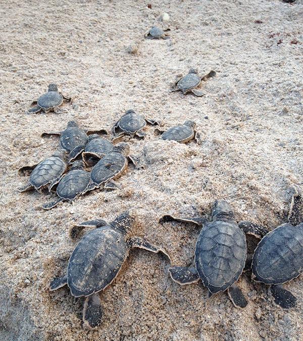 Sea Turtle Nesting Season – August 2017
